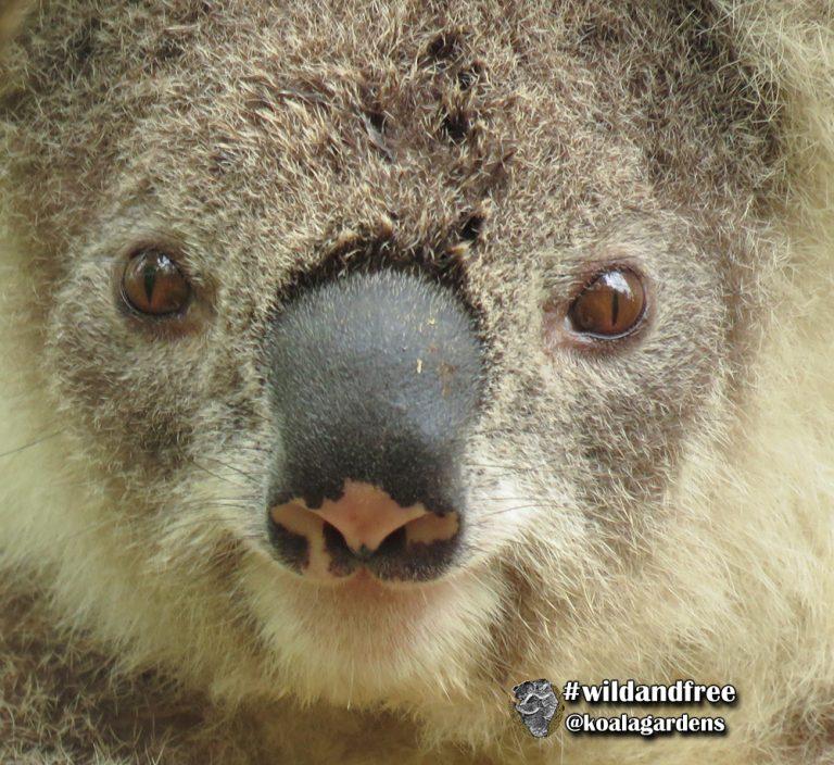 Angel female koala