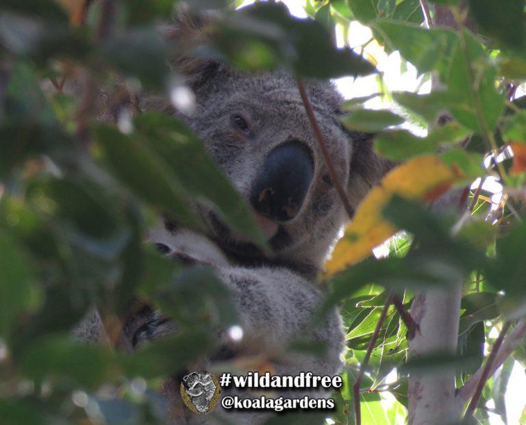 Monti male koala