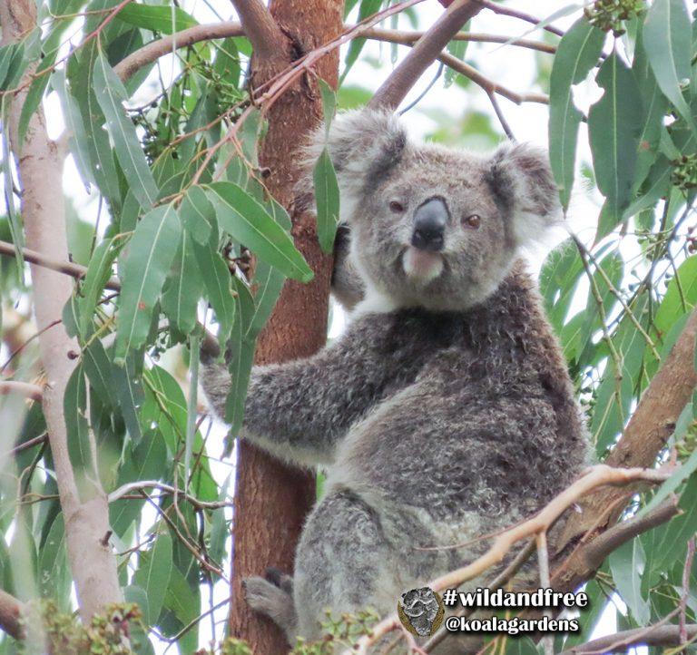 Ellie female koala