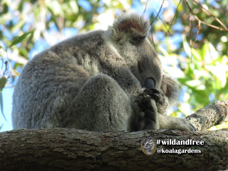 Matilda female koala