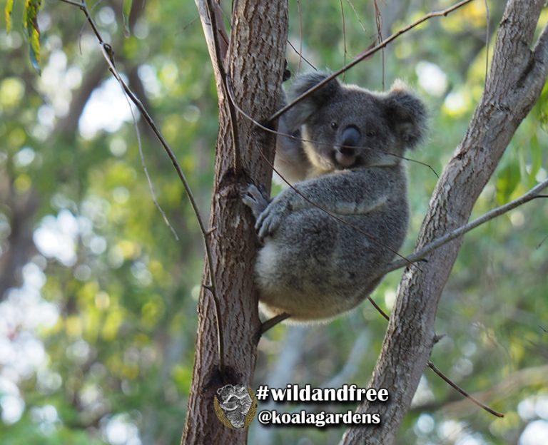 Nick male koala