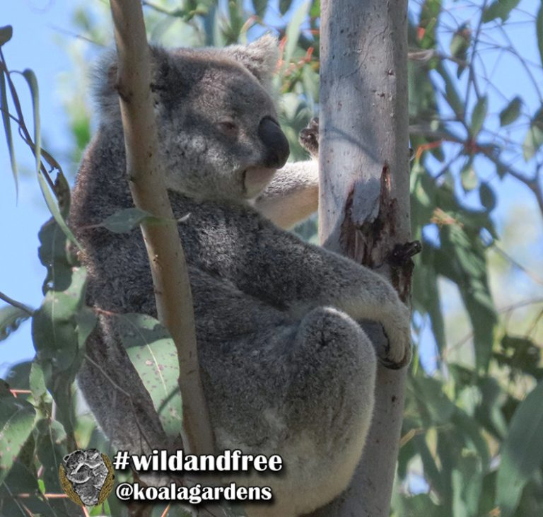 Maggie female koala