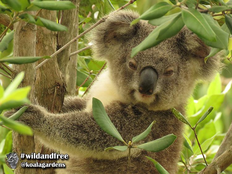 Smokey male koala joey