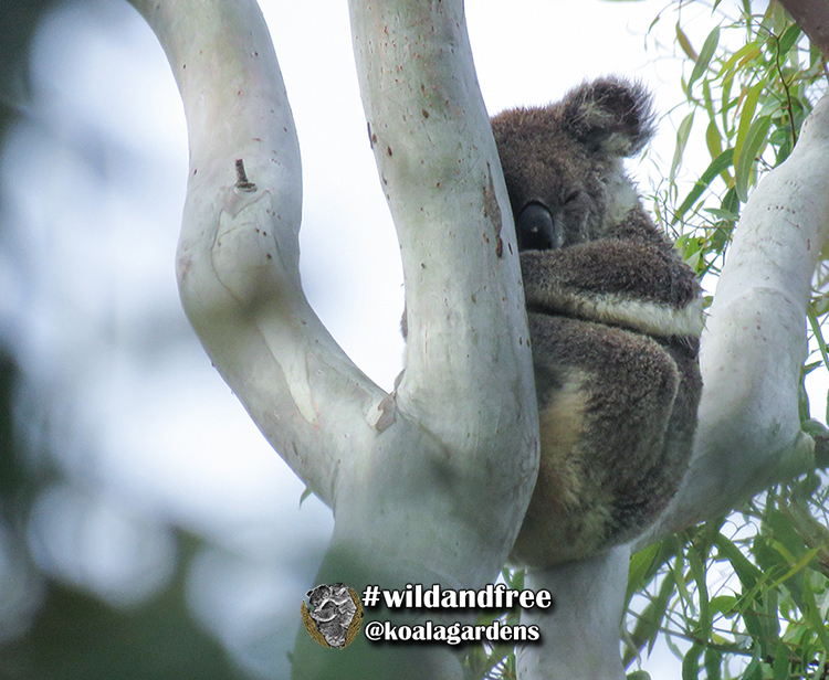 Racee female koala