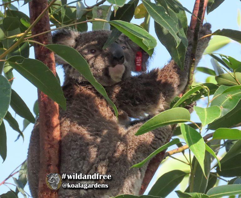 Kyle male koala