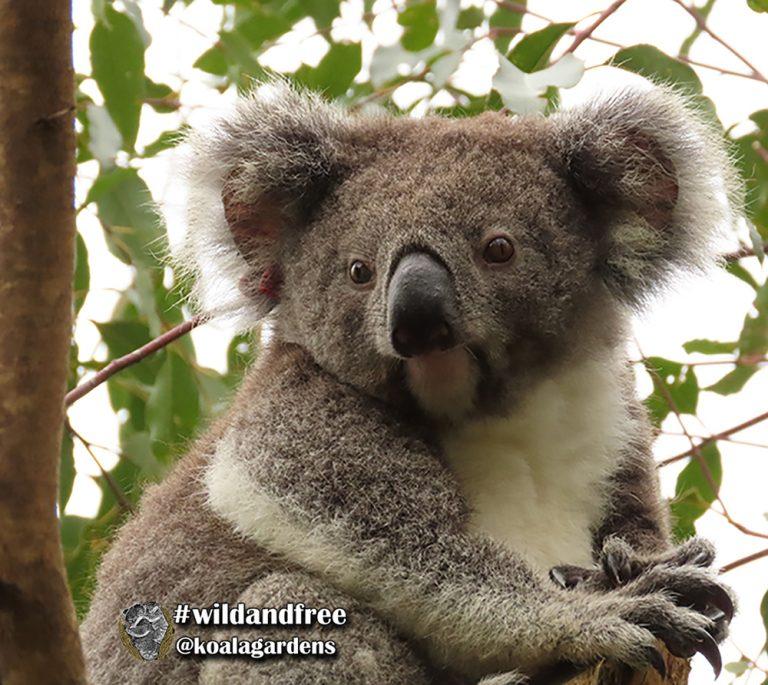 Meggs female koala