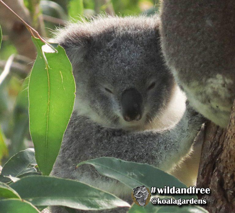 Bloom female koala