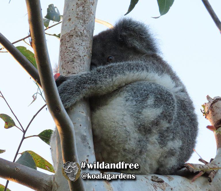 Ivy female koala