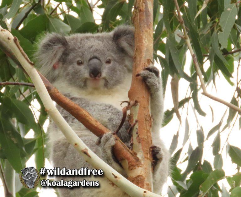 Fey female koala