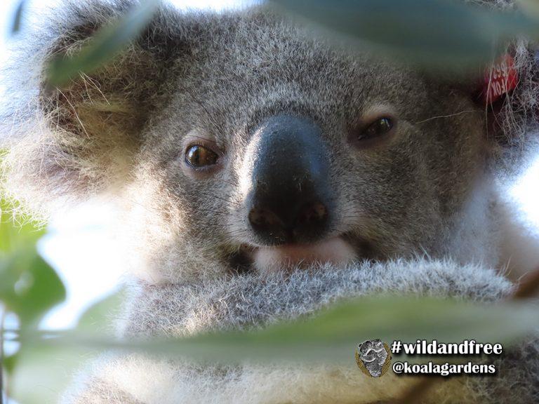Butters male koala