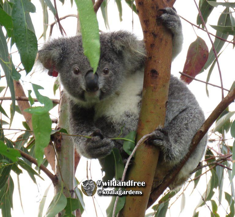Dita Von female koala