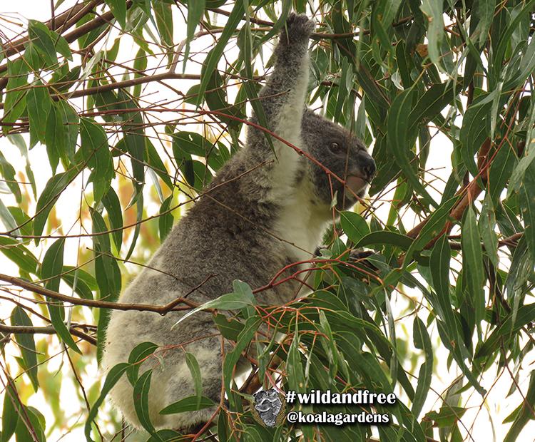 Khamin female koala