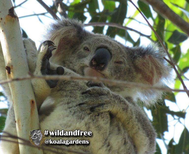 Stevie female koala