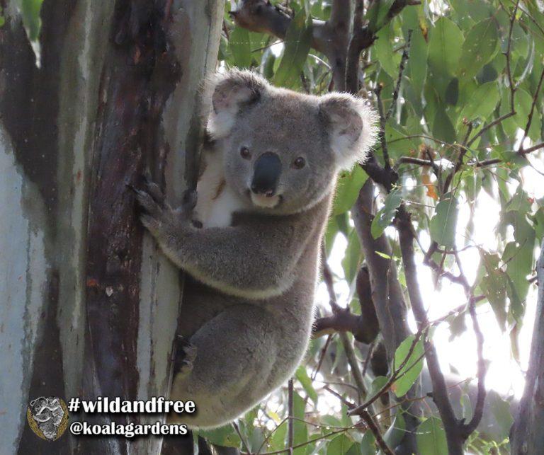 Swaggie male koala
