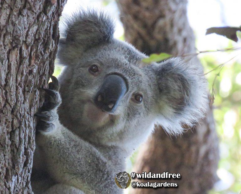 Ash male koala