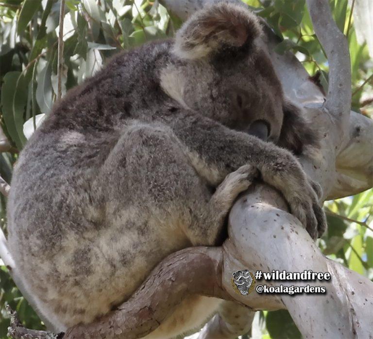 Jackie female koala