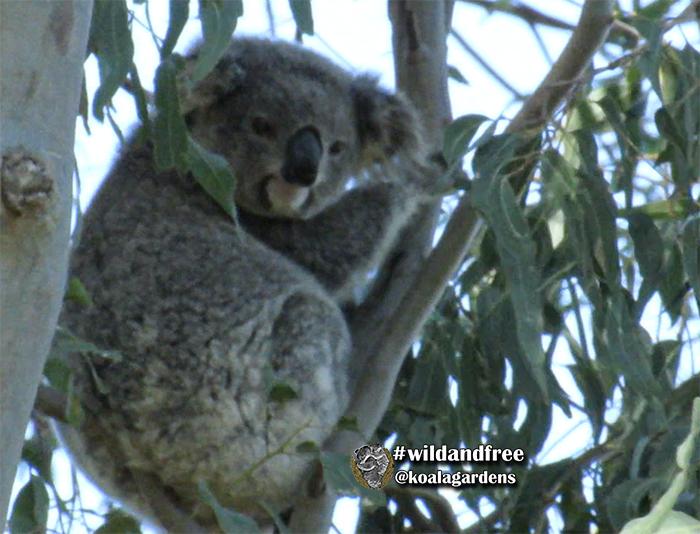 Millie female koala