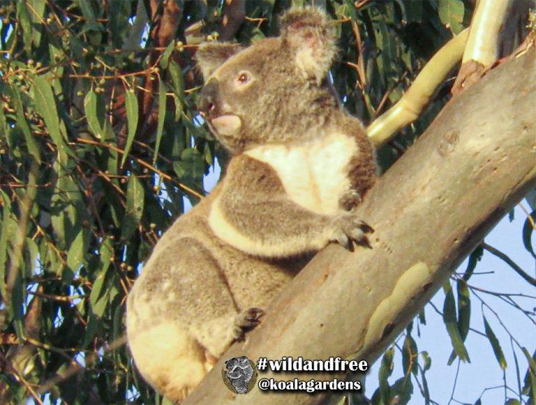 Adonis male koala