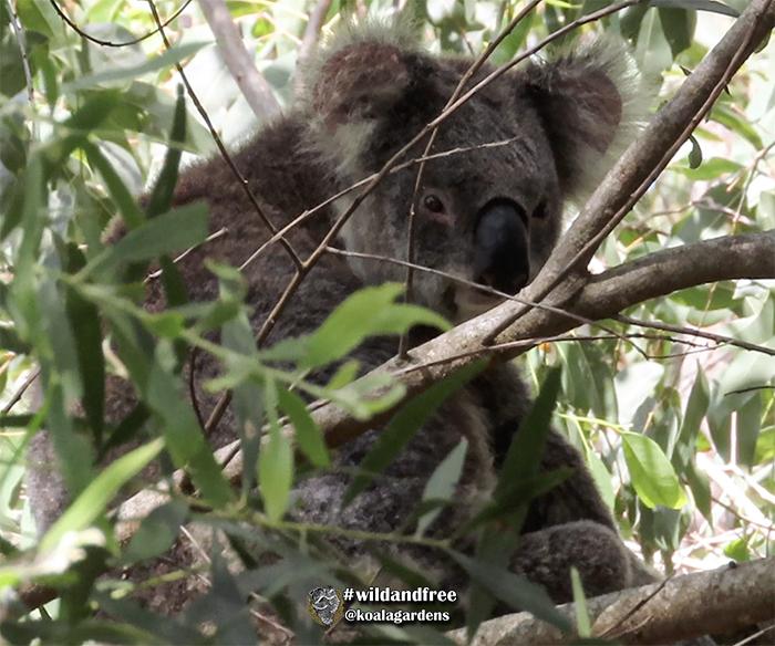 George male koala