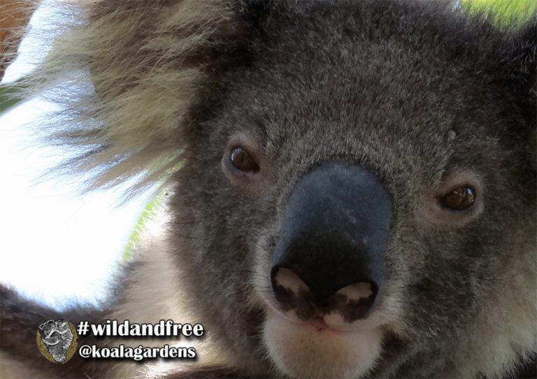 Jesse male koala