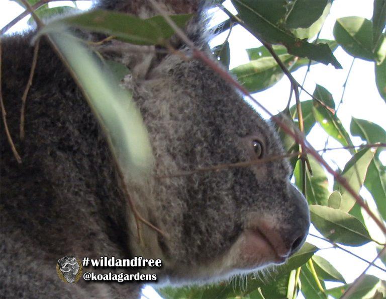 Winston male koala