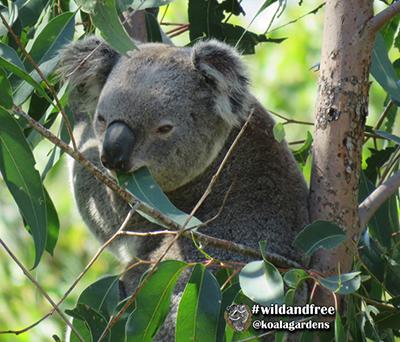 dash koala