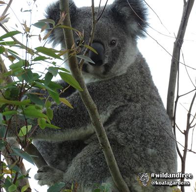 krystal koala