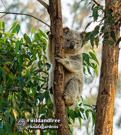 Luca koala