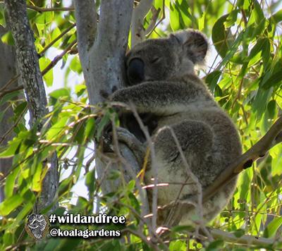 ted koala