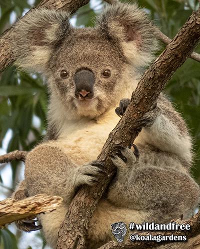 angel koala