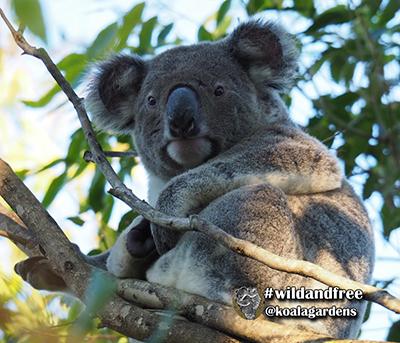 Beau koala