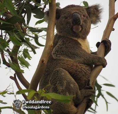 bertie koala