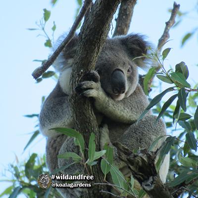 bruno koala