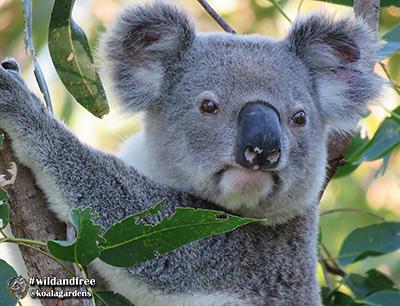 bullet koala