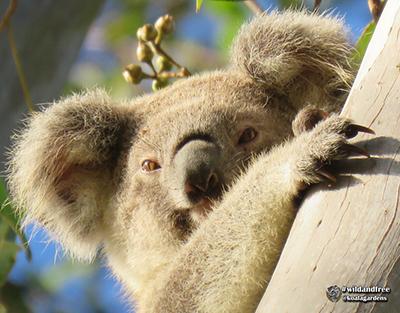 dewdrop koala