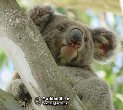 dodge koala