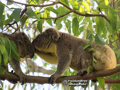 frankie koala