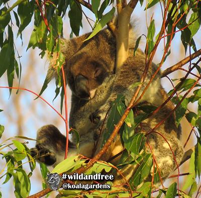 greta koala