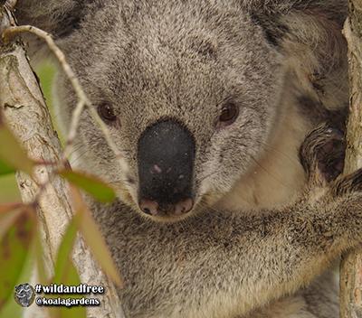 howzat koala