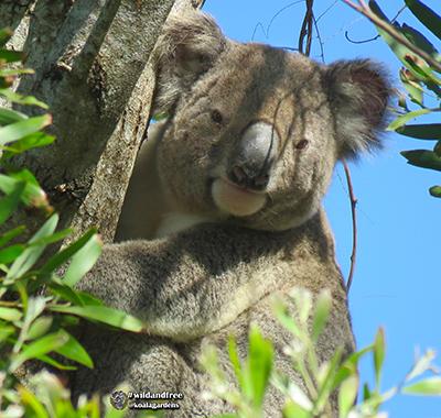 hugo koala