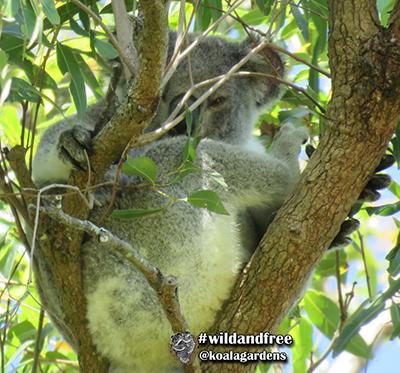 julius koala