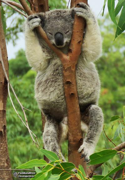 krissy koala
