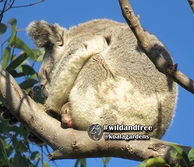 maxine koala and joey