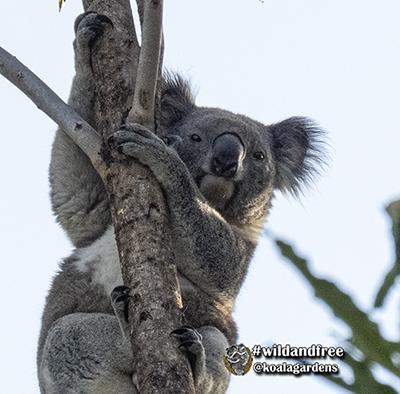newman koala