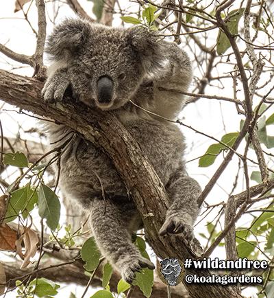 Nick koala