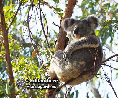 phoenix koala