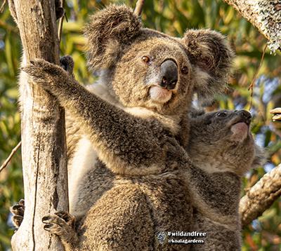 racee koala with joey