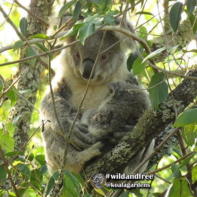 stevie koala