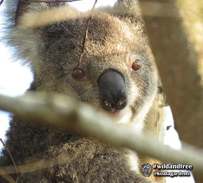 stretch koala