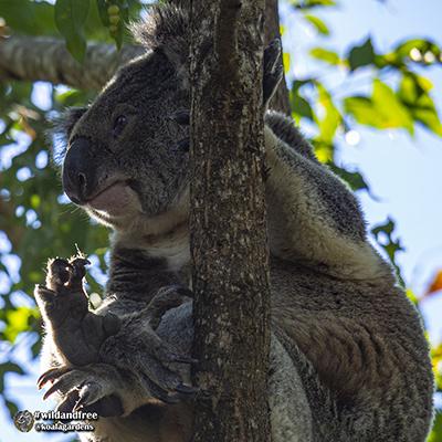 winston koala